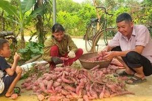 Sản xuất giống khoai lang cao sản KL 2009