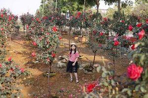Vườn hồng cổ TQ bạc tỷ đẹp như mơ độc nhất vô nhị ở Lai Châu