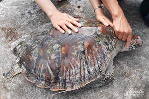 Nghệ An thả 'cụ rùa' quý hiếm nặng gần 20 kg về biển