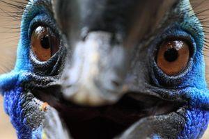 Chim 'nguy hiểm nhất thế giới' giết chết người đàn ông bằng móng vuốt