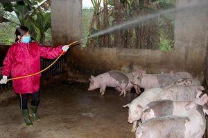 Nghệ An: Dịch tả lợn Châu Phi xuất hiện ở Quỳ Châu