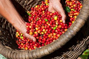 Ngày 18/4: Giá cà phê tiếp tục chìm sâu, giá lúa gạo và cao su biến động