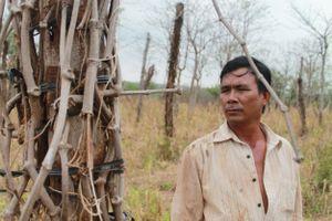 Hàng ngàn nông dân Gia Lai vỡ nợ tiền tỷ vì tiêu bệnh, giá thấp