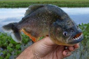 Buổi tiệc đi câu nguy hiểm nhất thế giới với 1.000 cá ăn thịt Piranhas