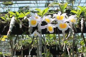 Vườn lan rộng 6.000 m2 của zai phố núi Pleiku trị giá hơn 10 tỷ