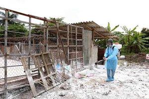 Phú Yên không còn ổ dịch bệnh lở mồm long móng trên đàn lợn