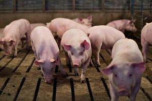 Giá heo (lợn) hơi hôm nay 19/4: Miền Bắc nhiều nơi giảm tới 3.000 đồng/kg