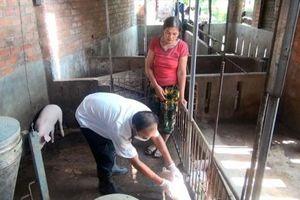 Không còn ổ dịch bệnh lở mồm long móng trên đàn lợn ở Phú Yên