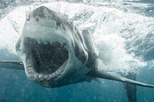 Được mệnh danh là sát thủ đại dương nhưng cá mập trắng vẫn khiếp vía trước sinh vật này