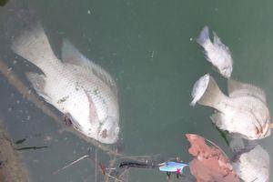 Khẩn trương xác minh nguyên nhân nước đổi màu xanh, cá nổ mắt chết phơi bụng ở Đà Nẵng
