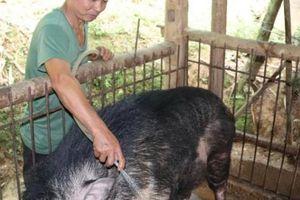 'Quái vật' lợn rừng 200kg, da dày cộp, móng khủng, nanh cong vút