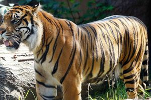 Kinh hoàng hổ vồ nhân viên vườn thú suốt 10 phút ở Mỹ