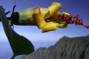 Hawaii: Thiết bị bay không người lái phát hiện loài hoa được cho đã tuyệt chủng