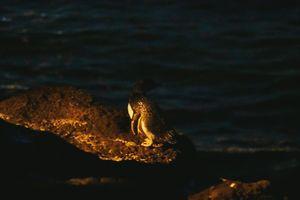 Đến Melbourne ngắm chim cánh cụt lên bờ lúc hoàng hôn