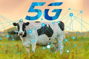 Anh tiên phong ứng dụng công nghệ 5G trong chăn nuôi bò sữa