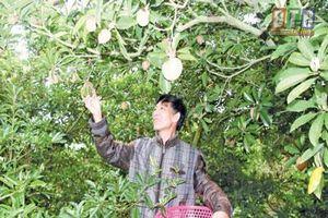 Trồng 60 cây hồng xiêm Lào, ra trái to bự, dễ đút túi 100 triệu
