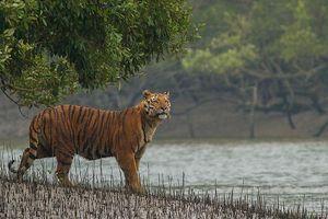 Môi trường sống bị đe dọa, hổ Bengal có nguy cơ tuyệt chủng