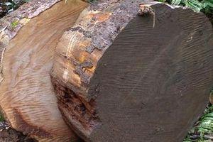 Khởi tố vụ cưa trộm cây thông quý hiếm đường kính 1,1m