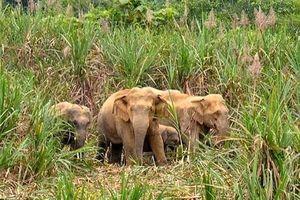 Cử tri Anh Sơn lo lắng vì đàn voi rừng thường xuyên về tàn phá