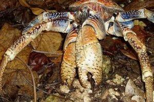 Cua Dừa - Loài động vật chân đốt trên cạn lớn nhất thế giới