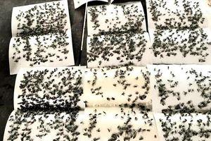 Dân bức xúc vì bị ruồi 'tấn công'