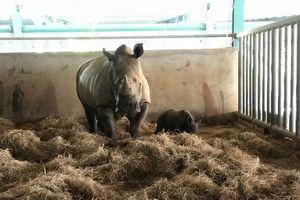 Vinpearl Safari Phú Quốc lập kỳ tích với 2 'bé' tê giác quý mới chào đời