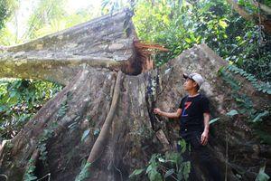 'Hạ sát' rừng tự nhiên