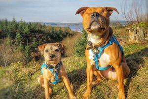 Chú chó mù Amos luôn có 'vệ sỹ ' dẫn đường và bảo vệ riêng