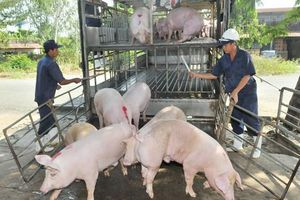 TP Hồ Chí Minh bổ sung các biện pháp ứng phó với dịch tả lợn châu Phi