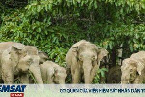 Malaysia: Loài voi đang đối mặt với nguy cơ tuyệt chủng