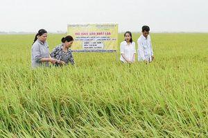 Quảng Trị: Lúa hữu cơ chất lượng tốt, thu nhập cao