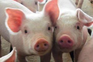 Đại gia thức ăn chăn nuôi Trung Quốc sẽ mở 3 trang trại nuôi heo tại Việt Nam