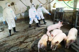 Dịch tả lợn châu Phi hạ nhiệt, nhưng giá thịt lợn vẫn giảm so với tháng trước