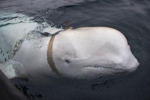 Na Uy phát hiện cá voi kỳ quái, nghi là 'vũ khí quân sự' của Nga