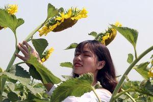 Du khách nheo mắt chụp ảnh dưới nắng nóng ở cánh đồng hướng dương Huế