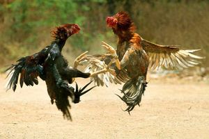 Truy tìm đối tượng nổ súng tại trường gà