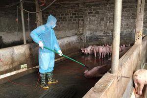 Ngăn chặn dịch tả lợn châu Phi: Không chủ quan, lơ là