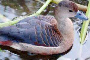 Loài chim nhìn như vịt nhưng 'đại bổ', giá nửa triệu/con