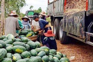 Dưa hấu bất ngờ tăng giá, nông dân Quảng Ngãi lãi lớn