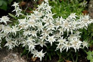 Khám phá 'choáng' loài hoa núi nổi tiếng, quốc hoa Thụy Sĩ