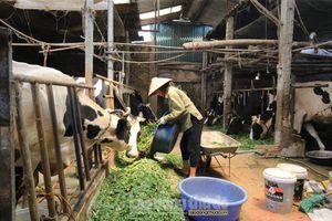 Phát triển chăn nuôi bò sữa gắn với bảo vệ môi trường