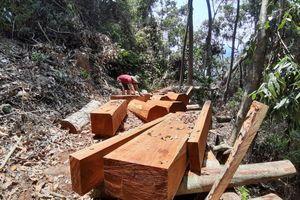 Hàng chục cây gỗ lâu năm trong rừng tự nhiên ở Quảng Nam bị 'xẻ thịt'