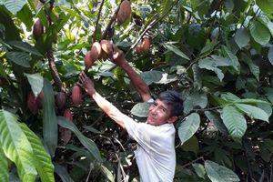 Vĩnh Long: Hiệu quả từ trồng ca cao xen trong vườn dừa