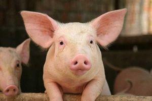 Lợn hơi giảm sâu do ảnh hưởng của dịch tả lợn châu Phi, người chăn nuôi gặp khó