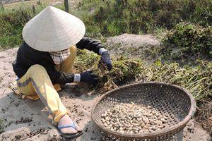 Hương vị quê hương: Hương đậu phộng trên vùng đất cát