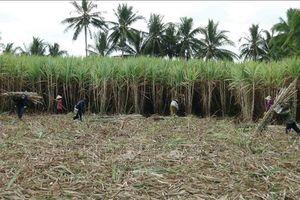 Hàng trăm hộ trồng mía ở Trà Vinh không tái vụ do thua lỗ