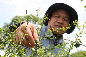 Bến Tre: Ông Đào Duy Anh trồng chanh lạ, hạt lổn nhổn 24 màu, bán 3 triệu/ký