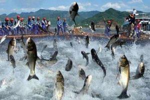 Nam Việt và chiến lược đầu tư vào 'vùng lõi' của cá tra
