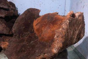 Phát hiện nấm chò nặng gần 70kg ở Quảng Nam