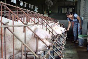 Xuất hiện dịch tả châu Phi tại 'thủ phủ' chăn nuôi Đồng Nai